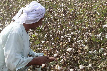 Egyptian cotton exports fall to 114.300 metric kantars