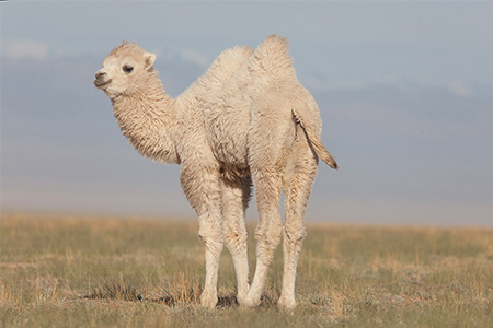 Tengri develops first camel fibre